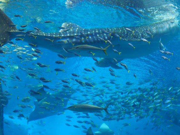 泳ぐジンベエザメ
